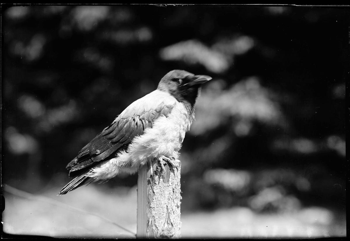 En kråka sitter på en stolpe.