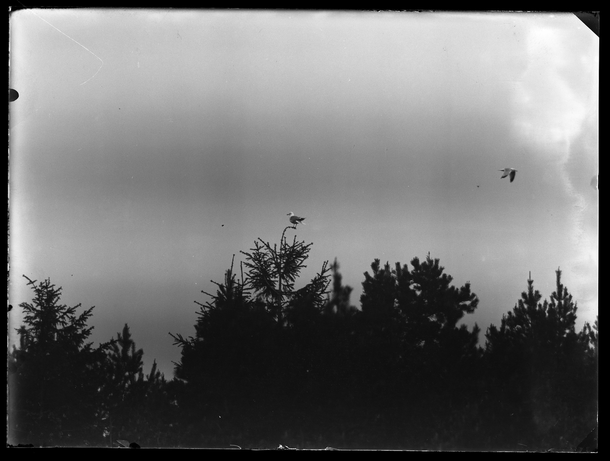 En mås sitter i toppen av en gran. Ovanför trädtopparna syns ännu en fågel.