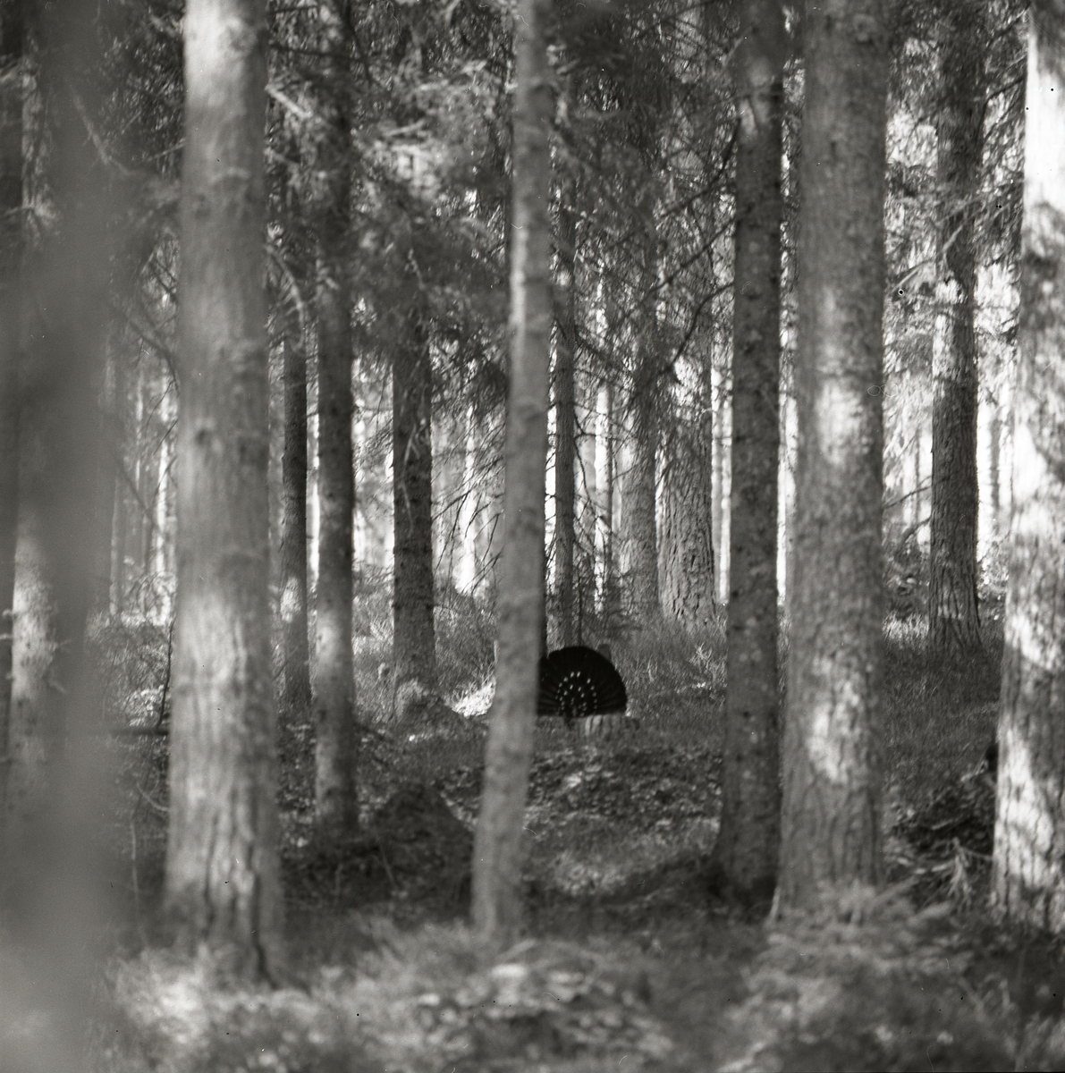 Mellan träden syns en tjädertupp som spelar vid Häggtjärn i april 1976.