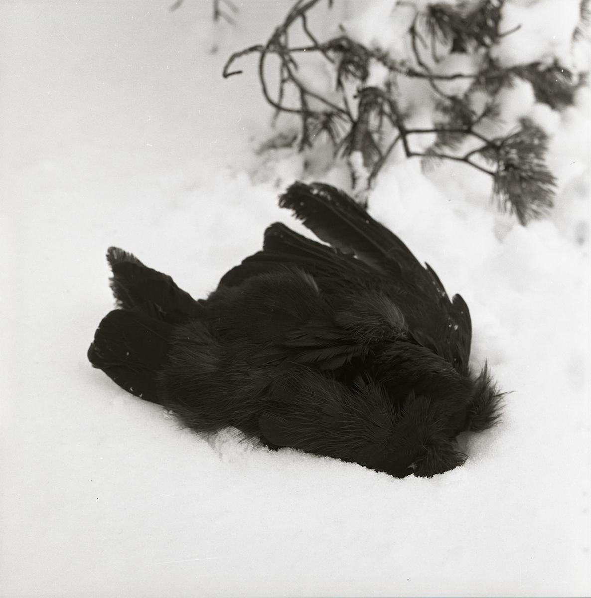 Död spillkråka i snön på Skogberget, april 1966.