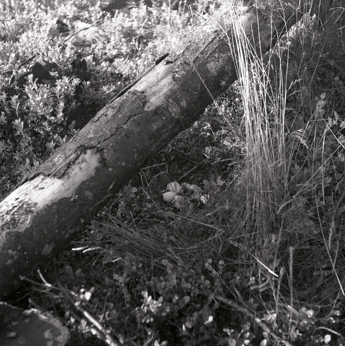 Nedfallen trädstam som ligger vid ett tjäderbo med ägg i skogen, Sunnanhed 29 juni 1954.
