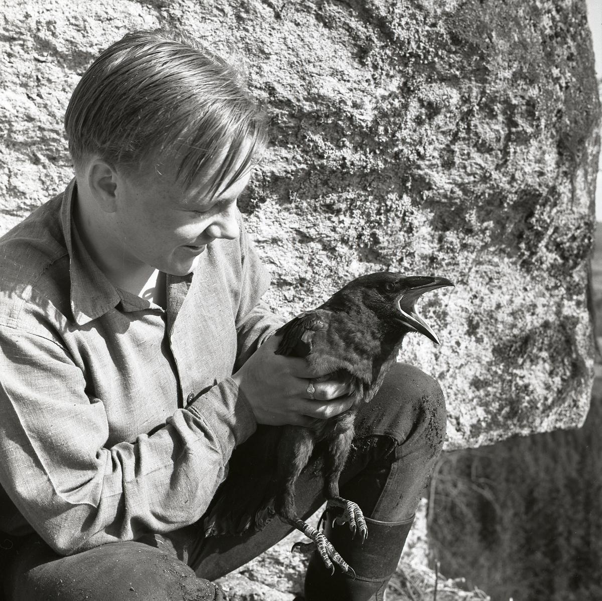 Närbild av en pojke som sitter vid en klippa och håller i en korp, maj 1962.