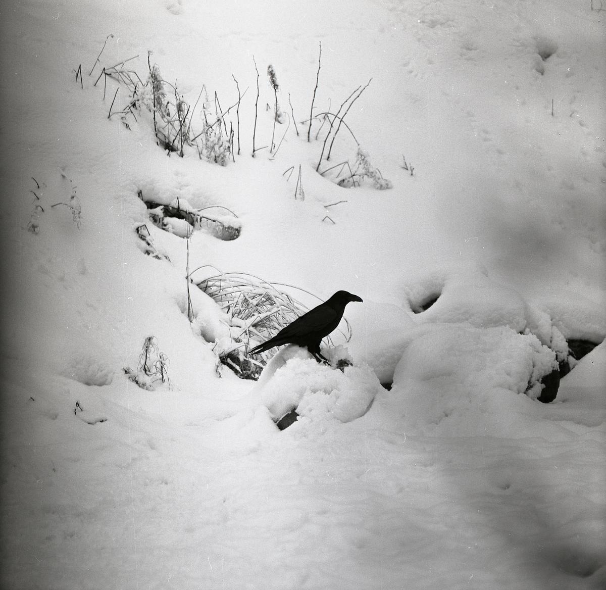 En korp sitter i snön vid några kvistar och gräs 1961-1962.