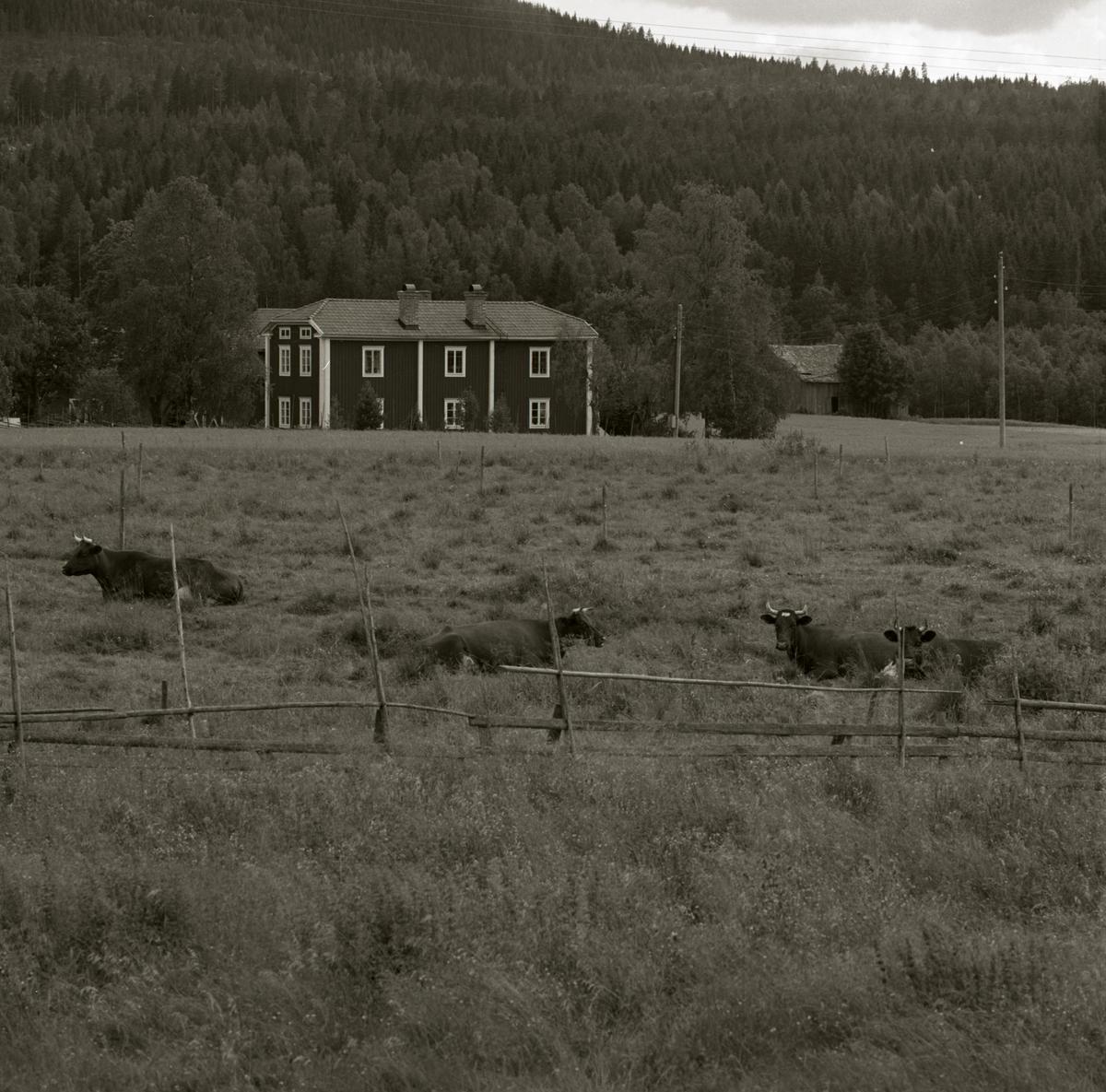 En flock kor ligger på en äng inhängnad av en gärdesgård, 1971. I bakgrunden syns gården Sunnanåker.