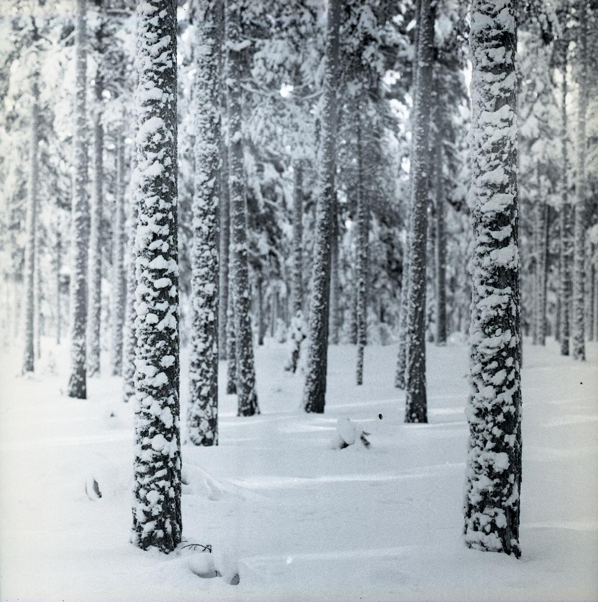 Skog på heden, med snö på marken och trädstammarna i januari 1961.