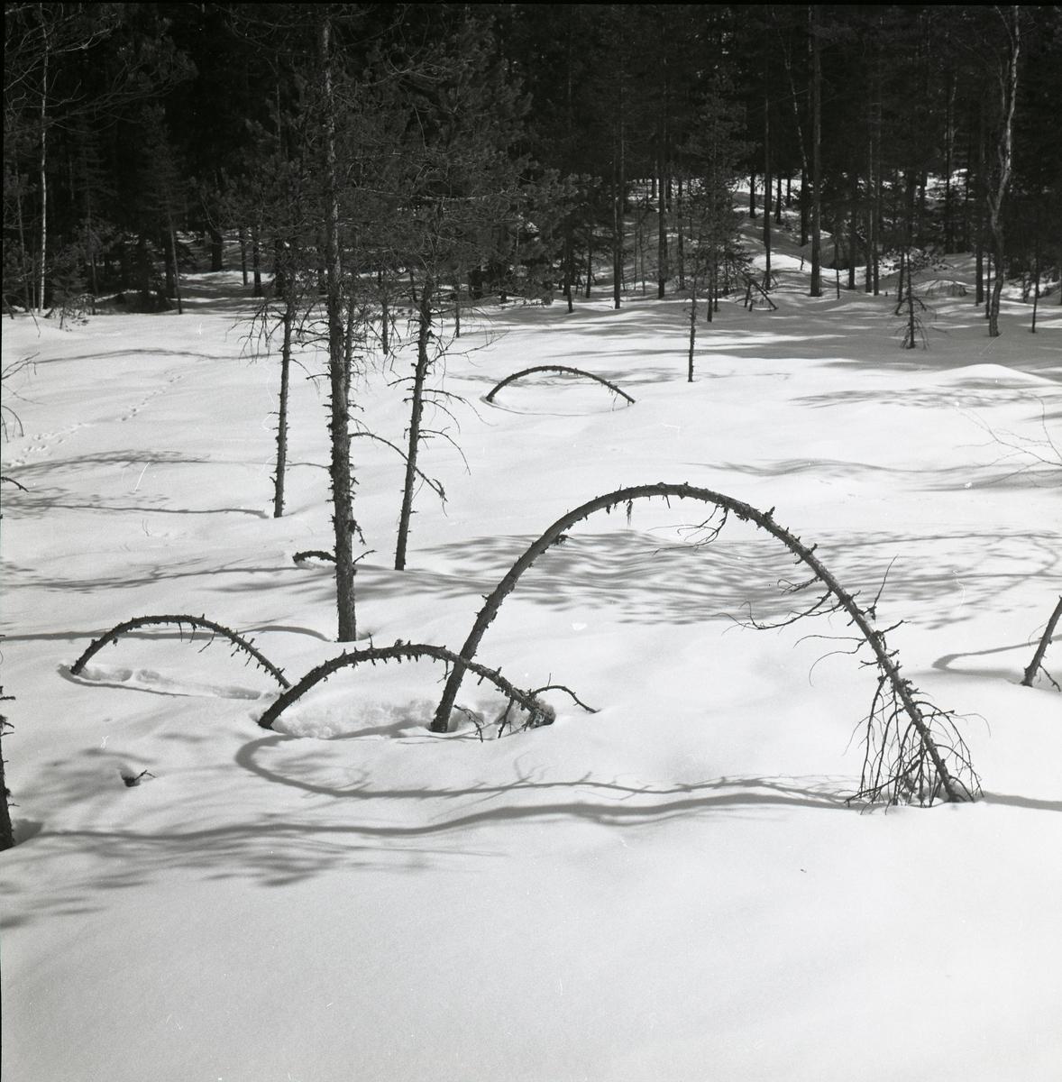 Träd som blivit böjda och brutna, bildar skuggor på snön, cirka1966.