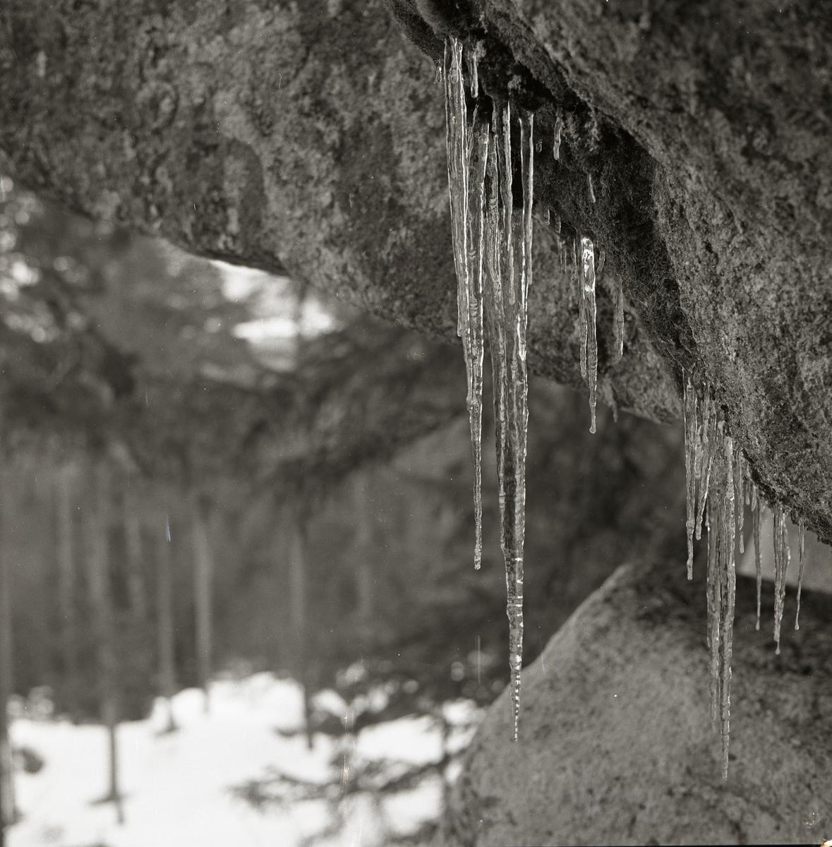 Istappar hänger från mossiga stenar.
