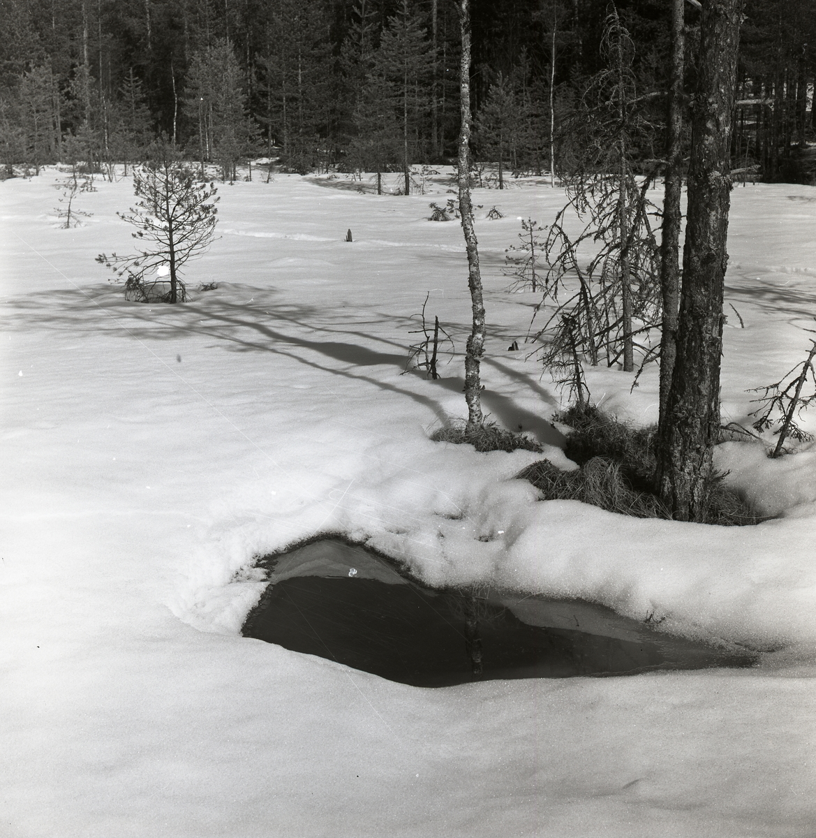 Ett vattenhål vid Svarttjärn, april 1963.