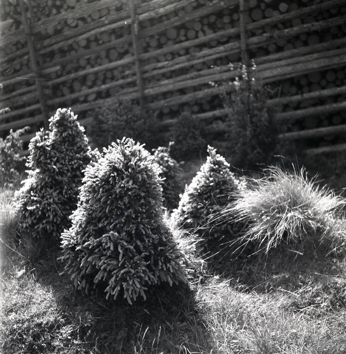 Granbuskar intill en gärdesgård,  juni 1947.