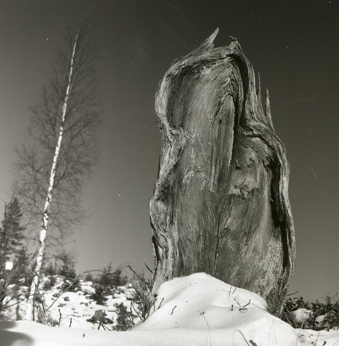 En trädstubbe stående på ett hygge, mars 1961.