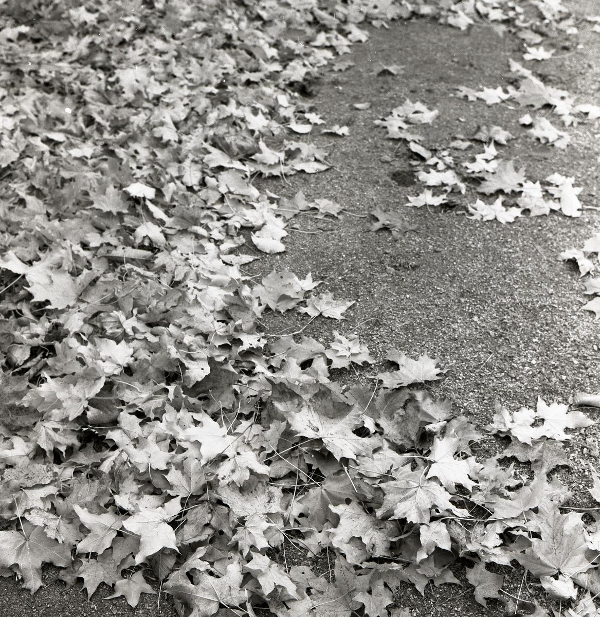 Lönnlöv ligger på en väg den 13 oktober 1957.