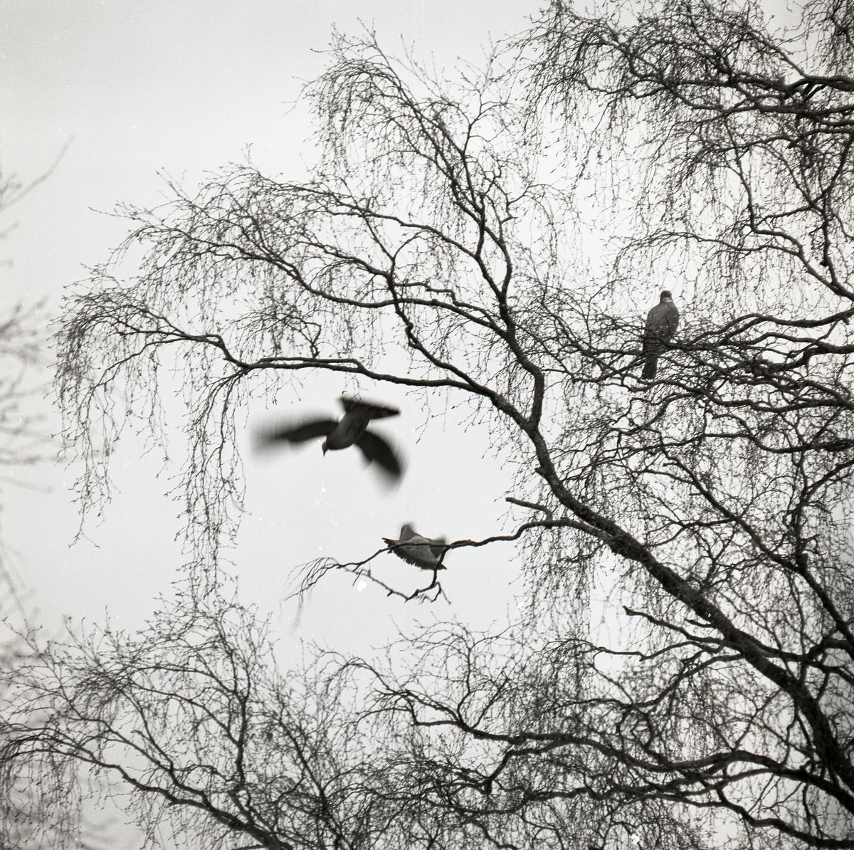Tre ringduvor flyger från ett träd under våren 1973.