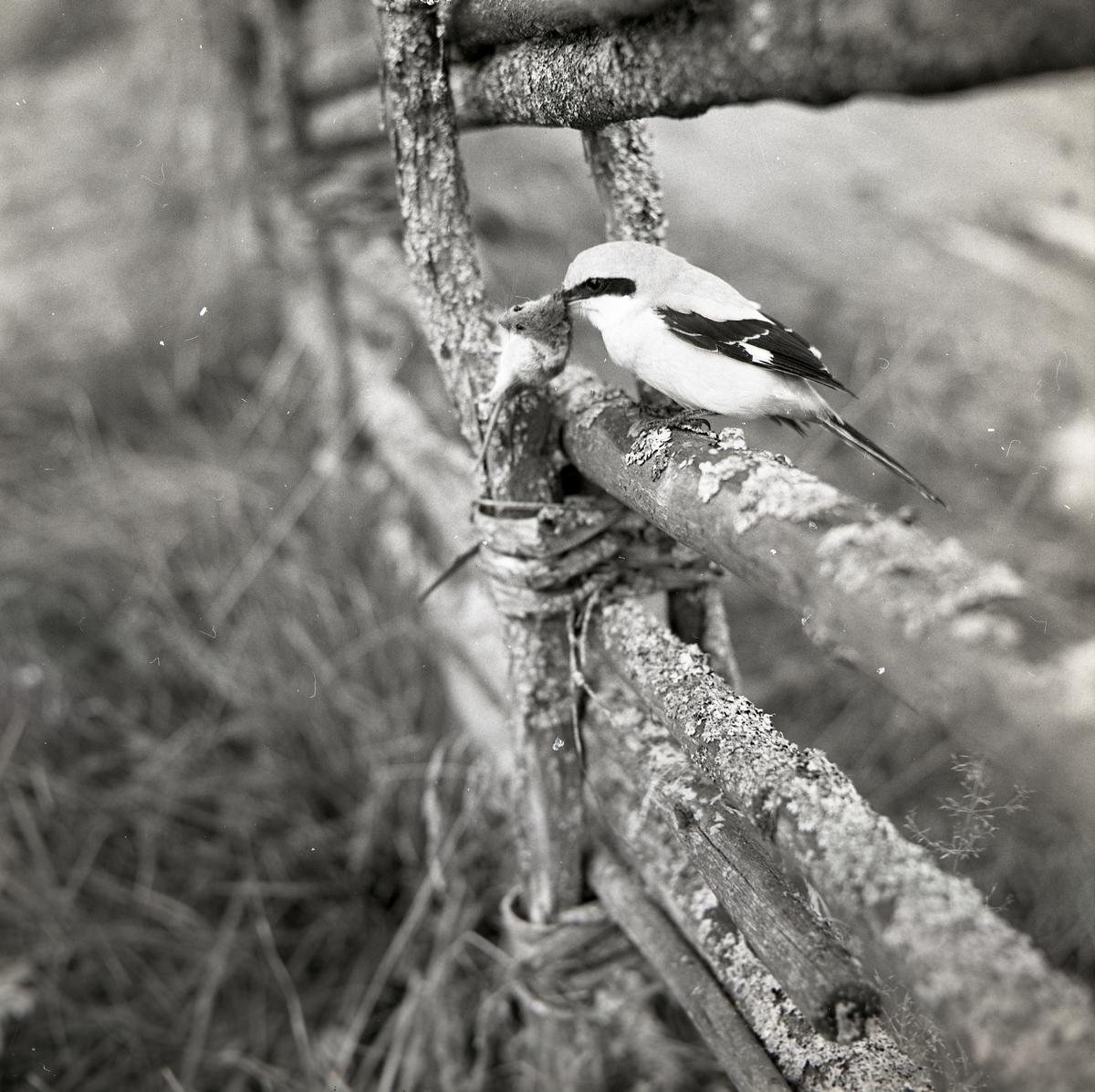 En varfågel har fångat en mus och sitter på en snedhage under hösten 1968.