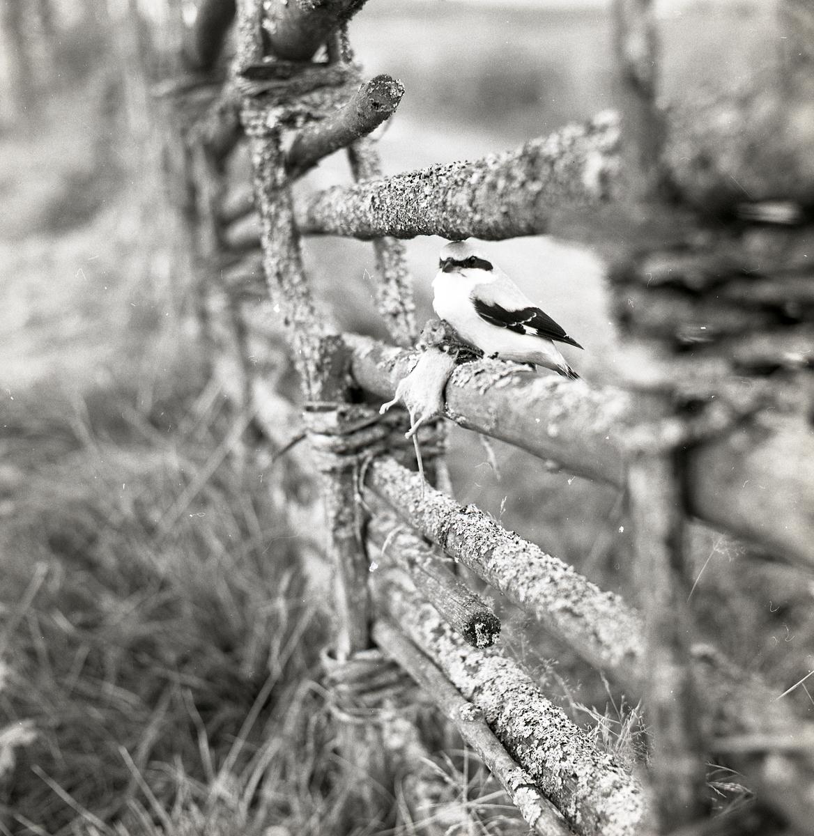 En varfågel har fångat en mus och sitter på en gärdesgård under hösten 1968.