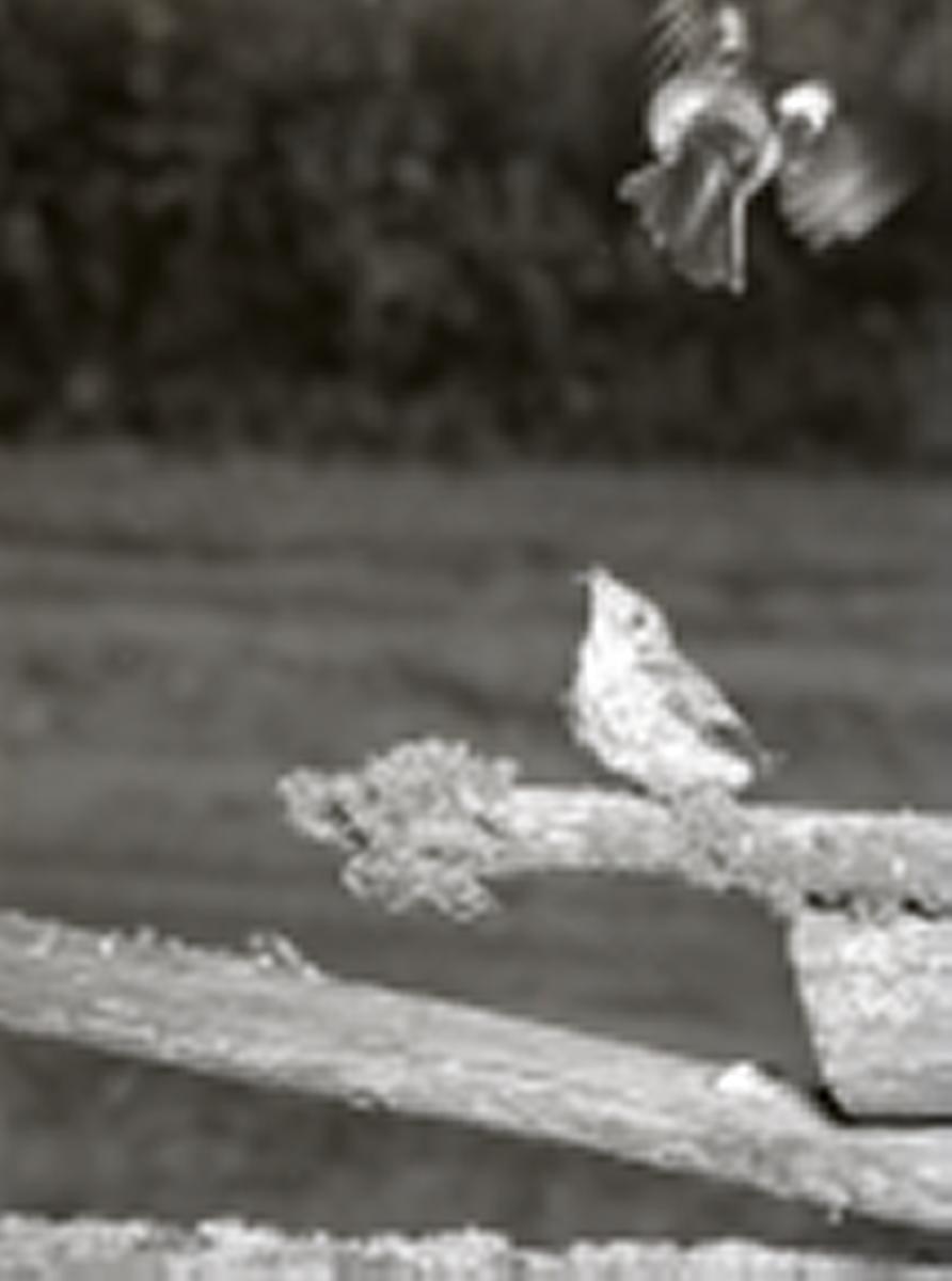 En svartvit fågelunge blir matad av en fågel medan den sitter på en hage, 23 juni 1953.