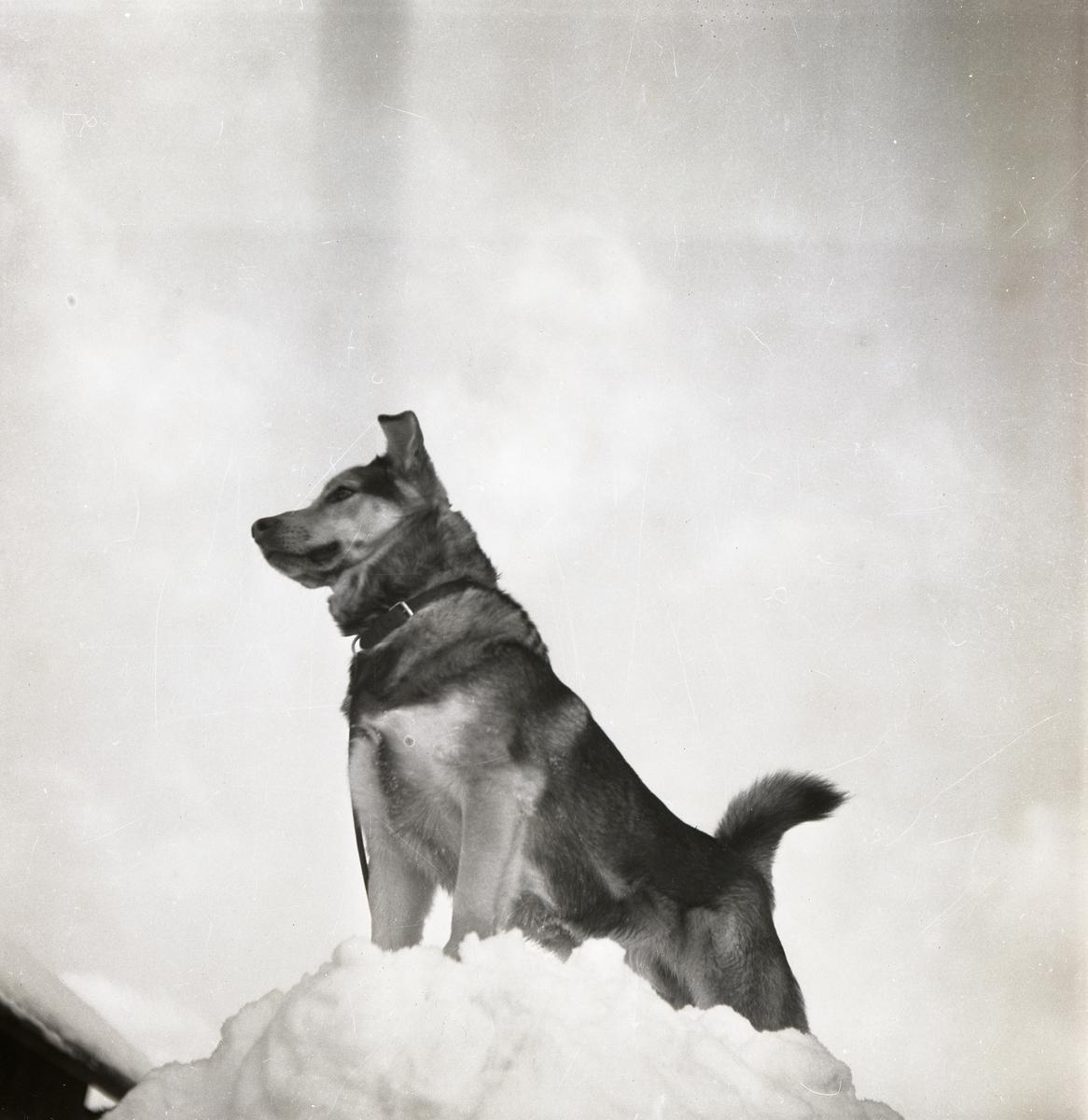 En hund står på en snöhög, 12 februari 1951.