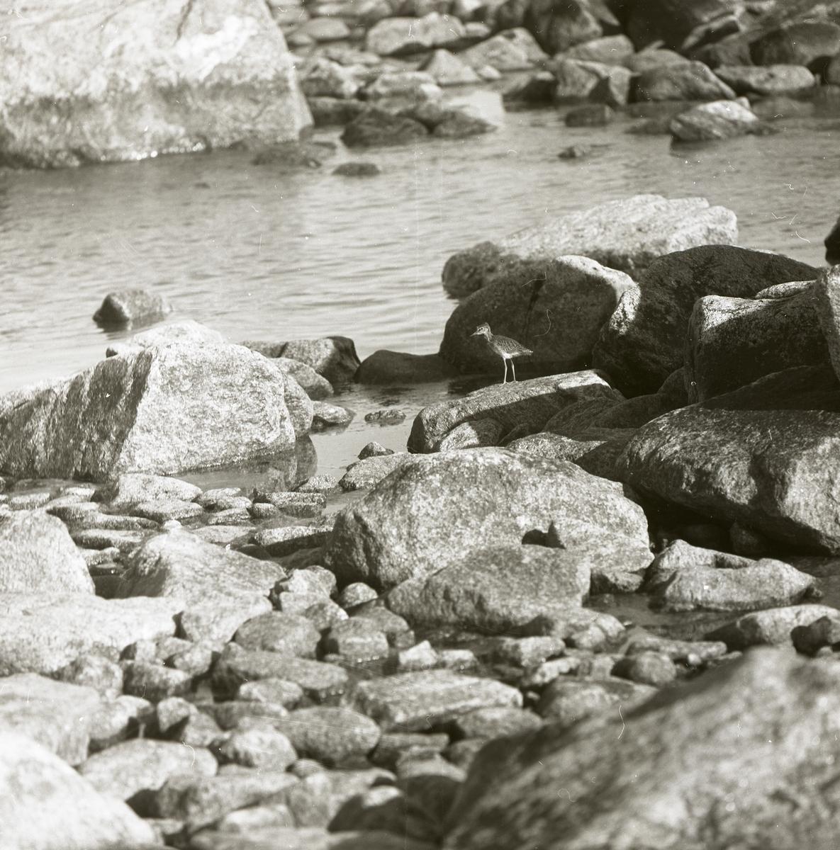 En drillsnäppa står på en sten intill en vattensamling i Rönnskär, 3 augusti, 1969.