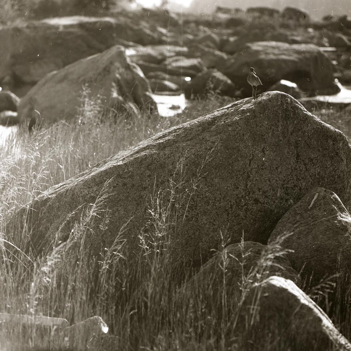 En drillsnäppa står på en sten i Rönnskär, 3 augusti 1969.