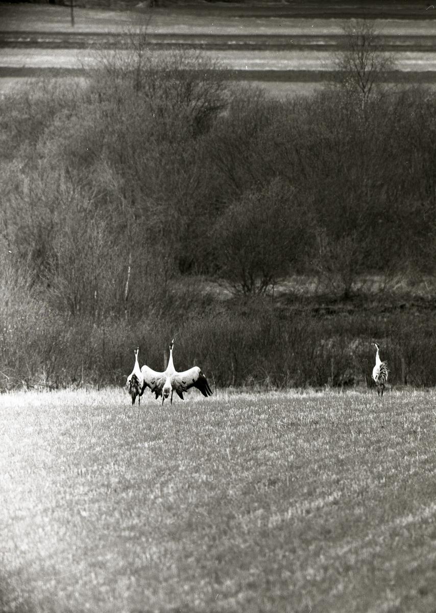 Tre tranor står på en åker framför en skog, 11 maj 1961.