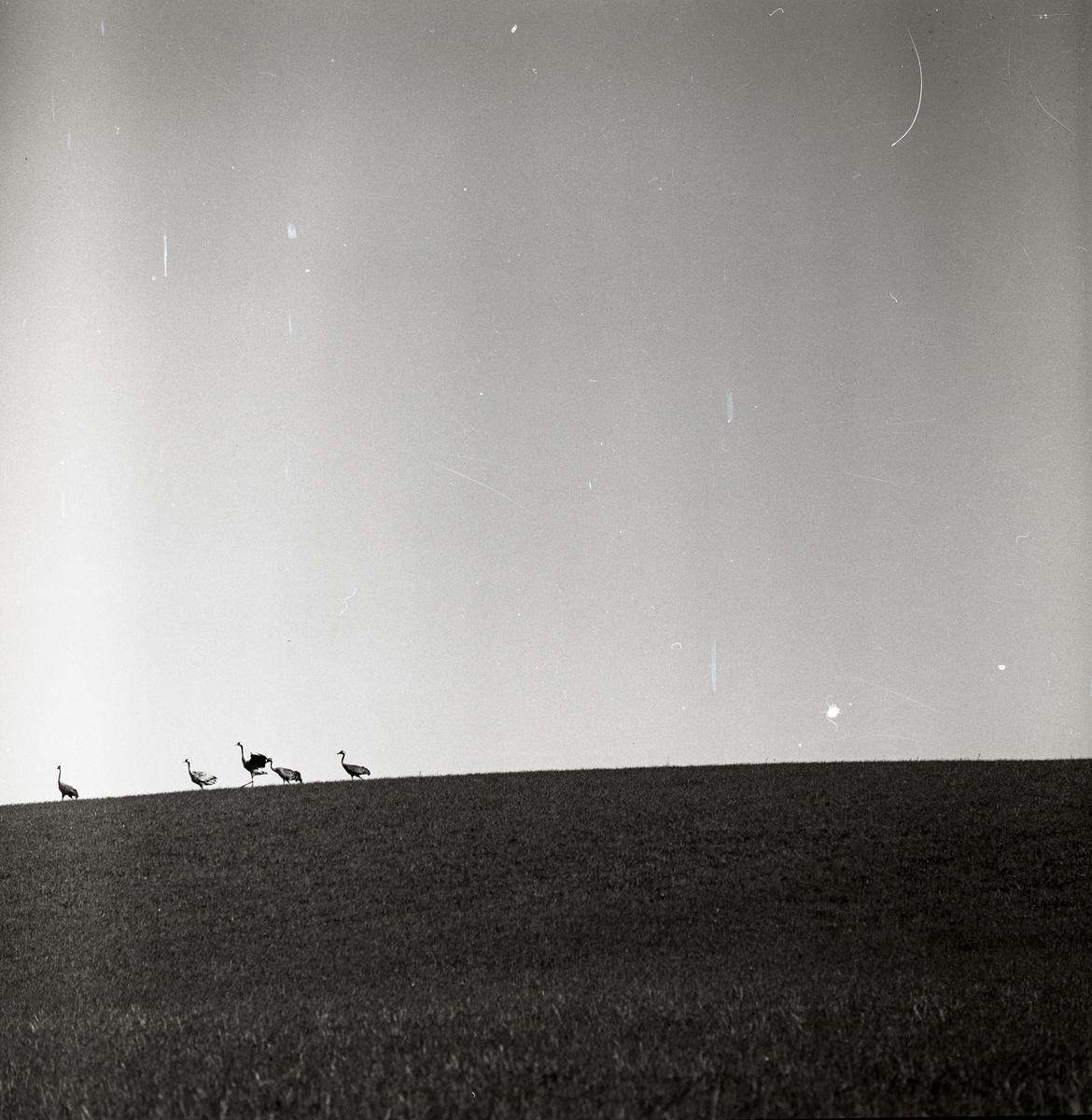 Fem tranor springer över ett fält vid gården Broddens i Rengsjö, 26 maj 1961.