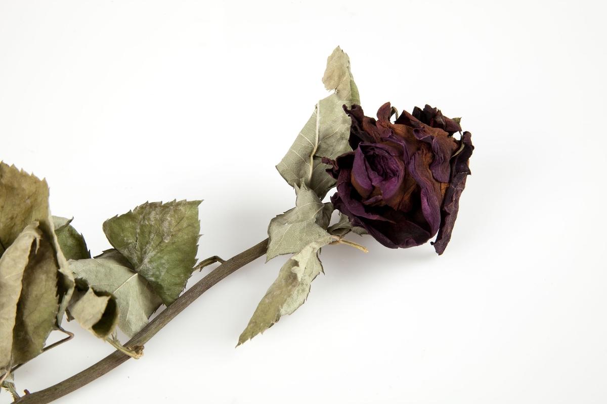 Rose innsamlet etter terrorhandlingen 22. juli 2011 fra minnesmarkeringene i Lillestrøm.   En enkel rød rose, som når den tørket har fått fargene mørkerød mot lilla og brun/oransje. Ved selve blomsten har stilken bøyd seg, nesten knekket av og slik har den tørket. Bladene som sitter på øverste halvdel av stilken er grønne, grågrønne til sølvgrønne med innslag av lysebrunt. De fleste tornene er fjernet fra stilken som er grønn, lilla, brun og grå.  Kortet er tredd inn på stilken hvor det sitter en rest av blad.. Kortet er avlangt har hvit bunnfarge og med nærbilde av en hvit lilje som dekker det meste av kortet. Teksten er trykket på øverste del av kortet. Baksiden av kortet er tomt og hvitt. Kortet har fått revet av biter på begge langsider slik at en bokstav er blitt borte.