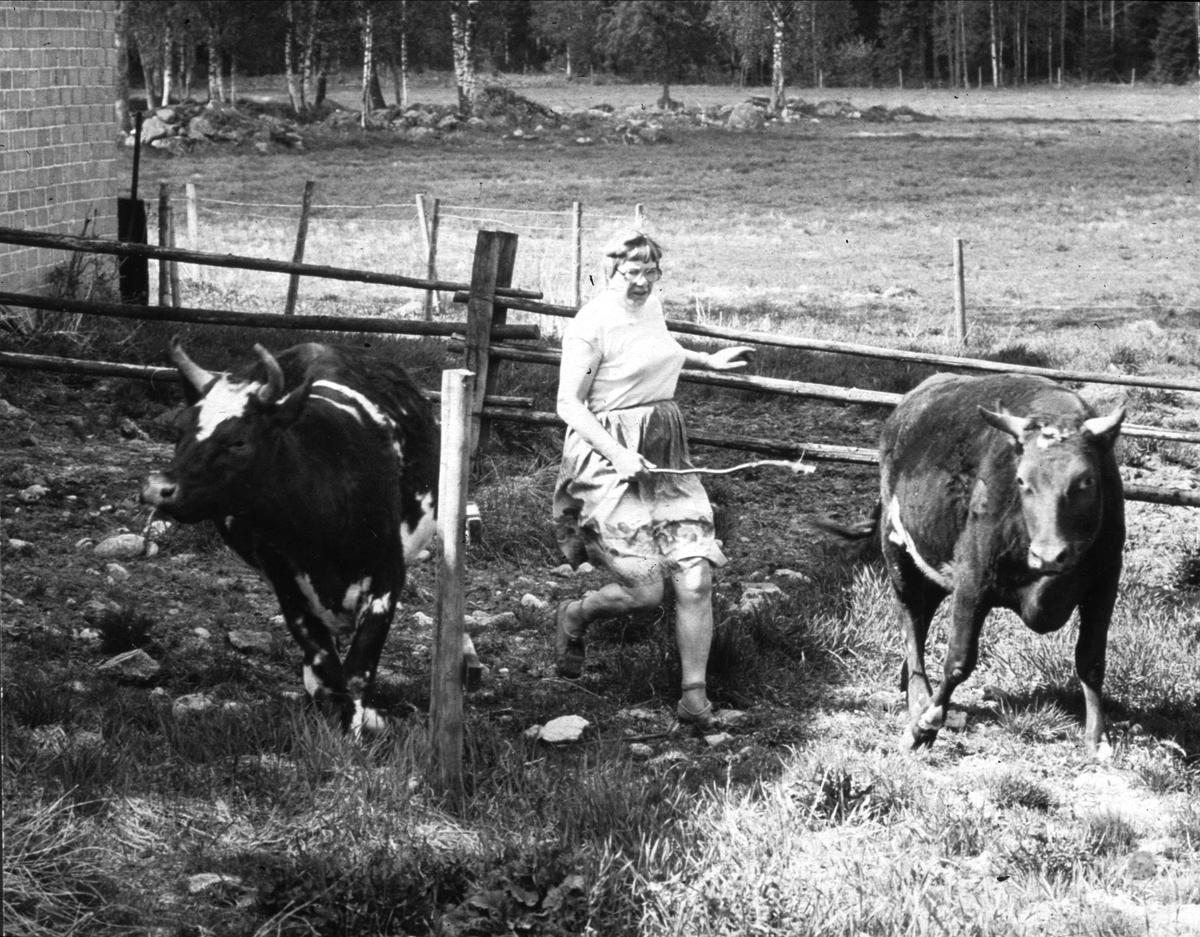 Kvigor släpps ut på sommarbete, lantbrukare Mary Widblad föser på, Mossbo, Tierps socken, Uppland maj 1981