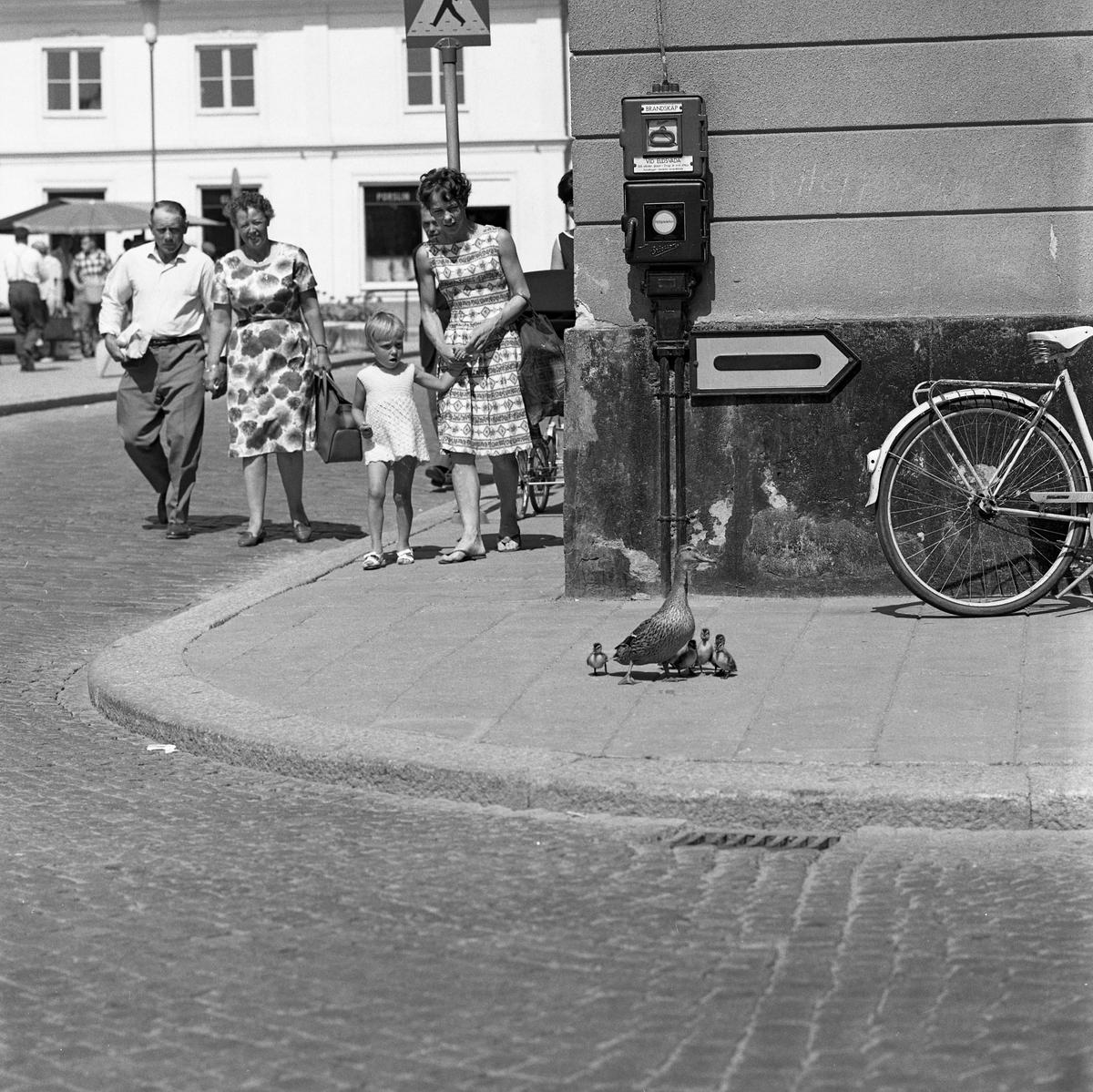En andmamma, med sina ungar, är på väg mot ån. De övervakas av intresserade arbogabor. Nu har de kommit till hörnet Rådhusgatan - Kapellgatan.