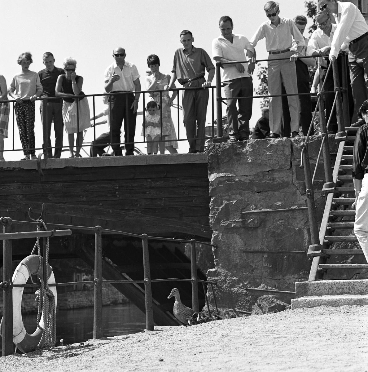 Nyfikna arbogabor följer andmammans väg till ån, med sina små. Publiken står på Kapellbron. Den lilla flickan heter Kristina (Tina) Petersson. Hennes mamma, Helga och pappa Jan (i mörk skjorta) är också med.