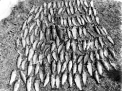 Fiskefangst med ørret fra Langvatnet på Vikna