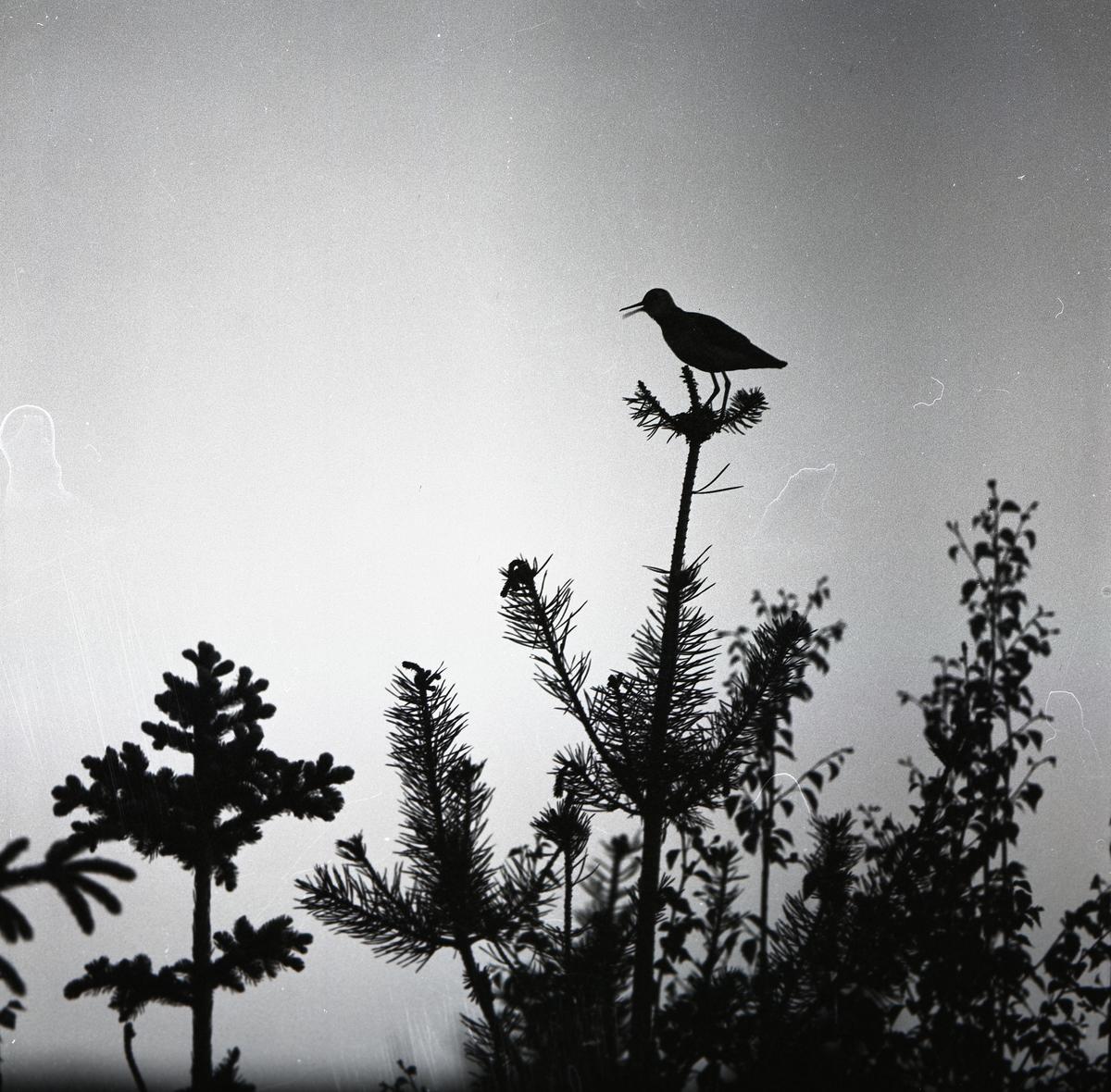 En grönbena sitter i trädtopp vid Sanbacken, 24 maj 1959.