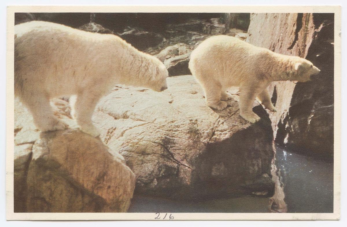 Vykort med motiv från Skansen. Isbjörnar.