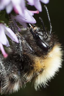 Foto av en humle som sitter på en blomst