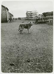 En hund i den ryska byn Chabarova.