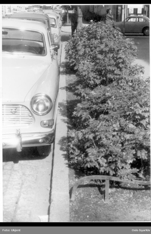 Busk-beplantning langs brosteinskant. Parkerte biler. Sannsynlig fra 1960-tallet.