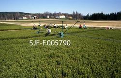 Produksjon av toårige pottebrettplanter av gran ved Sønsteru