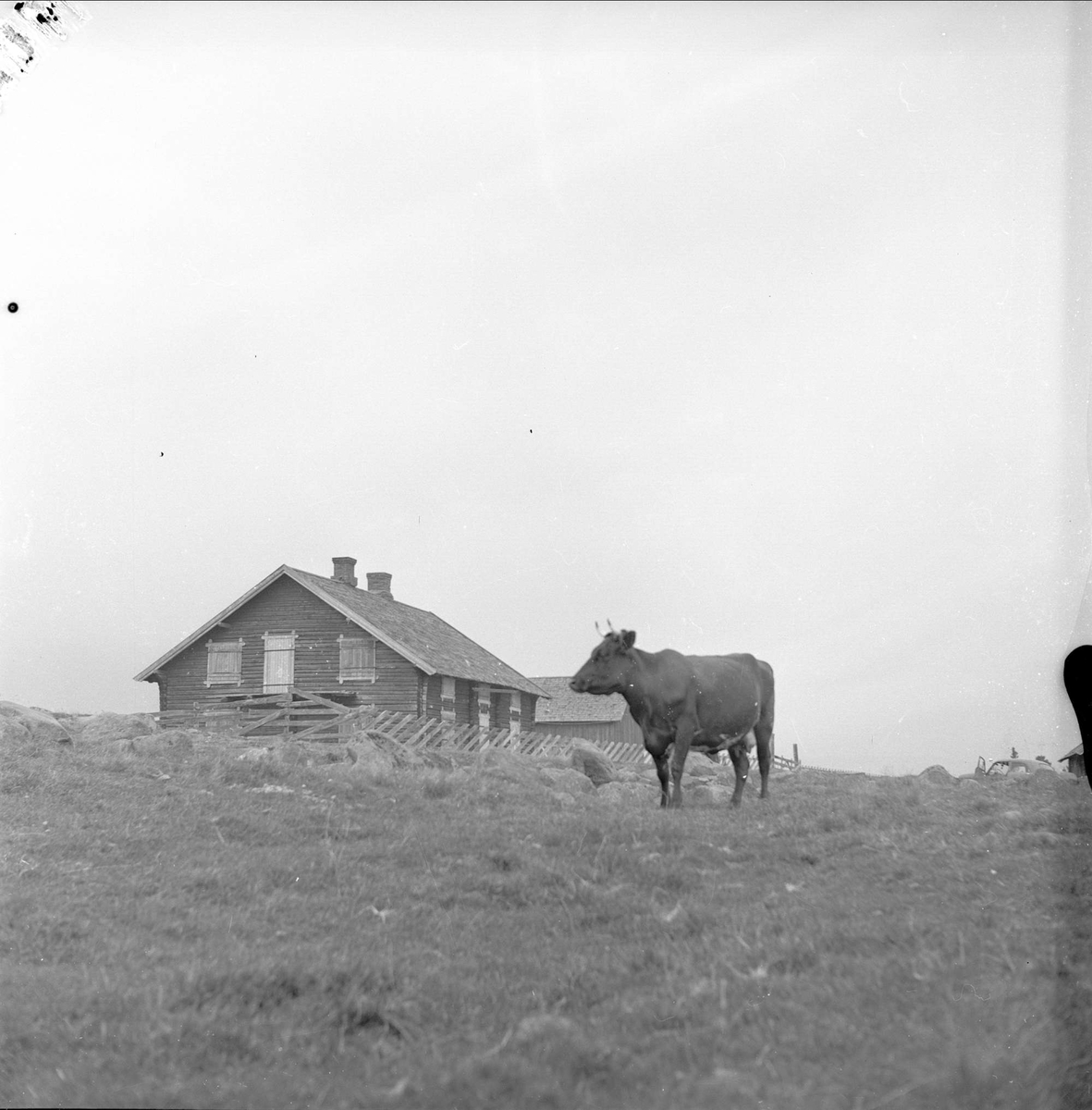 Ringsaker, Hedmark, 20.08.1955. Ku på beite.