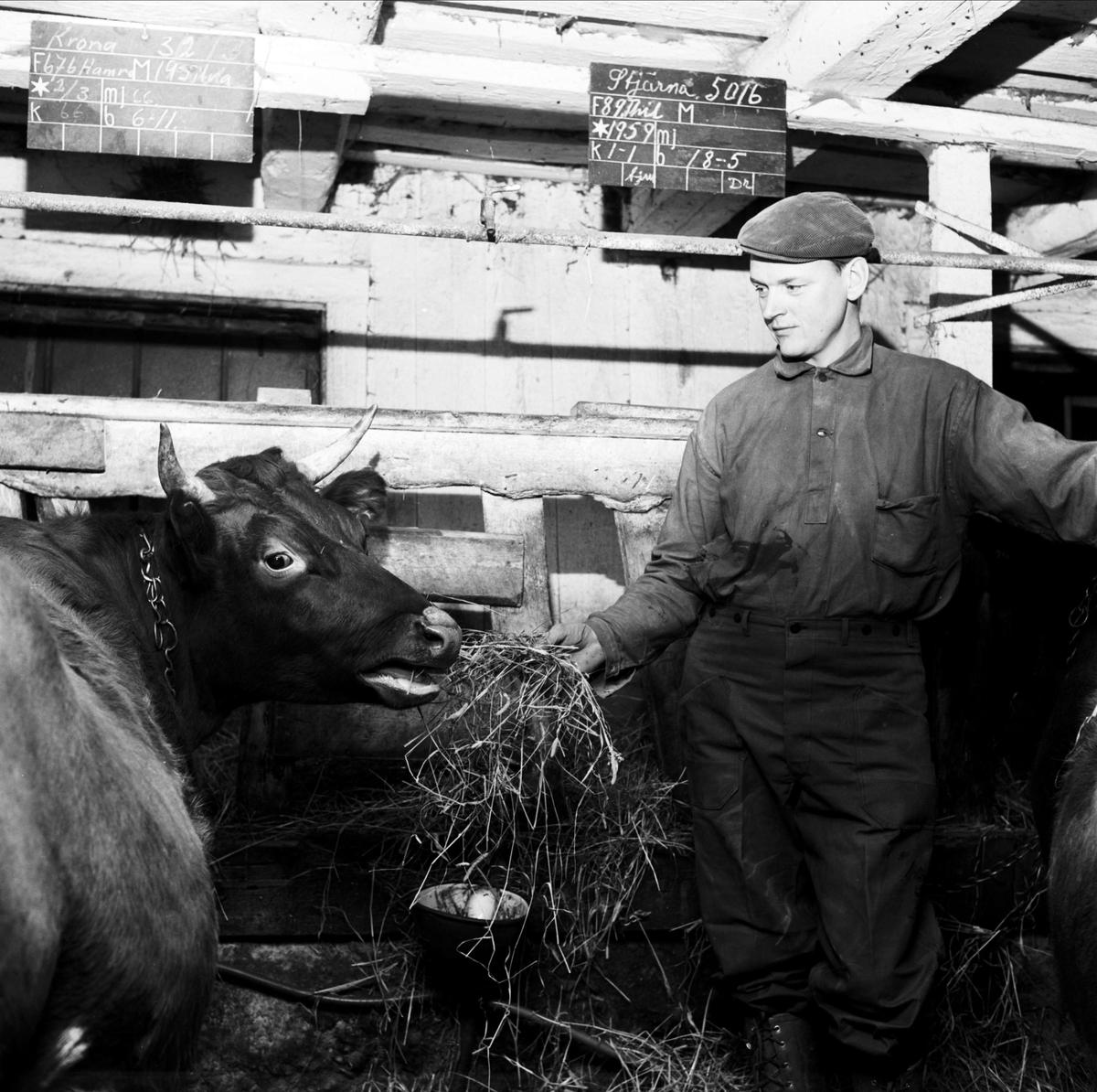 Bertil Eriksson i ladugården, sannolikt Tierp, Uppland 1967