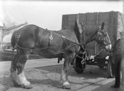 Clydesdalehäst i brittisk hamn