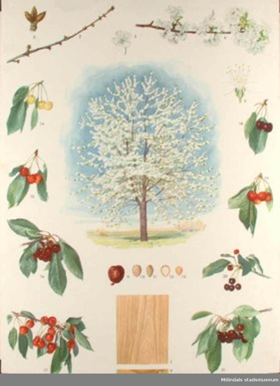 :1: Äpple.:2: Körsbär.:3: Päron.:4: Björk.:5: Tall.:6: Gran.