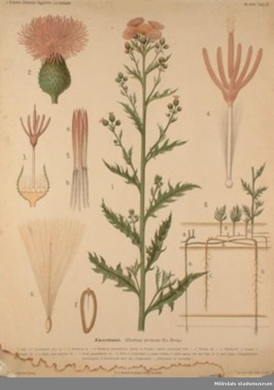 Biologi.Åkertistel.J. Eriksson. Botaniska väggtavlor 2:a upplagan.Målat av Henriette Sjöberg.Lit.o.tr. i Gen. stab. lit. anst.
