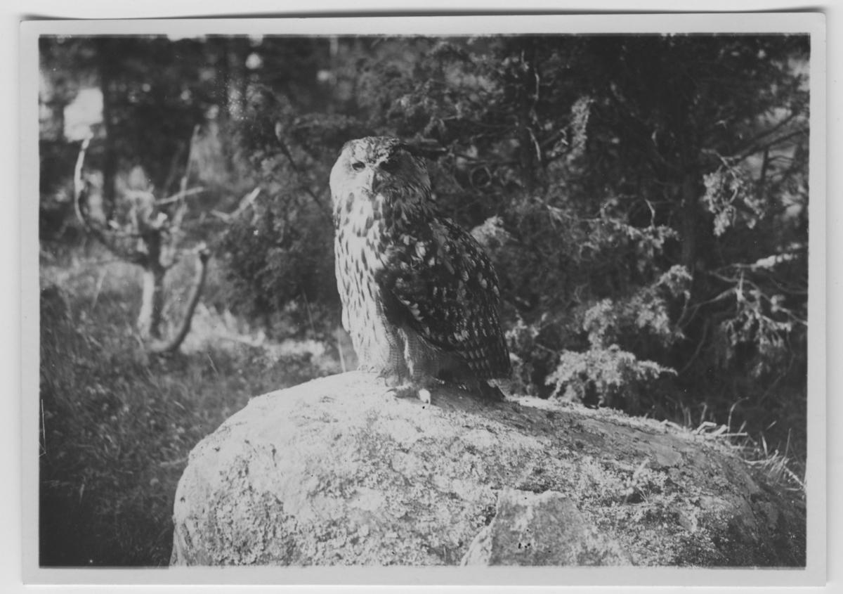 'Berguv, hona, på stenblock, gran i bakgrunden. ::  :: Se serie med fotonr. 3151-3200. Se även fotonr. 1771-1837.'