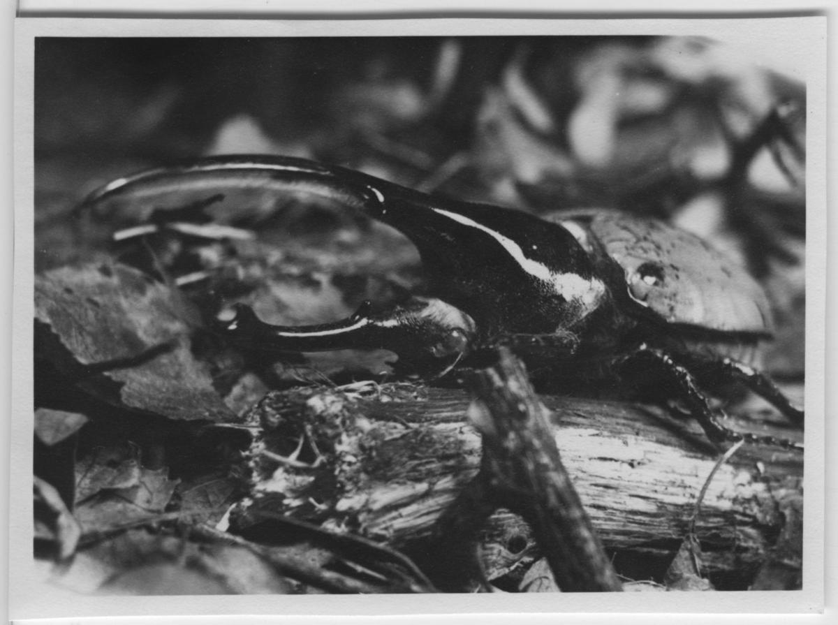 'Herkulesbagge i närbild, sedd framifrån. ::  :: Se även fotonr. 4496:2.'