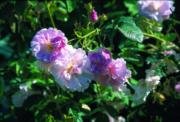 Rose. Foto/Photo