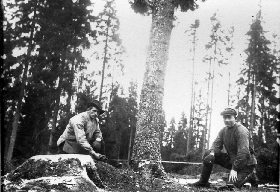 Trädfällning i Slättängs skog. Gustav Vårdén och Edvin Apel.