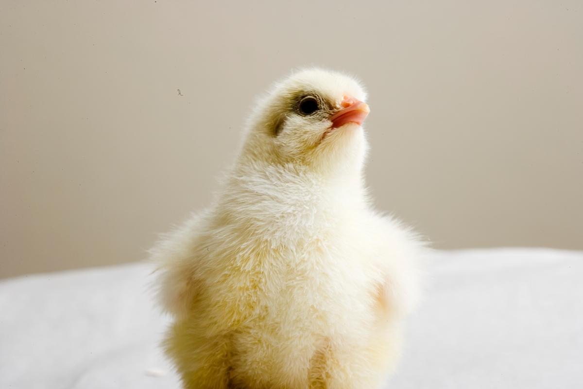 Kylling som er blitt tørr etter utklekking.