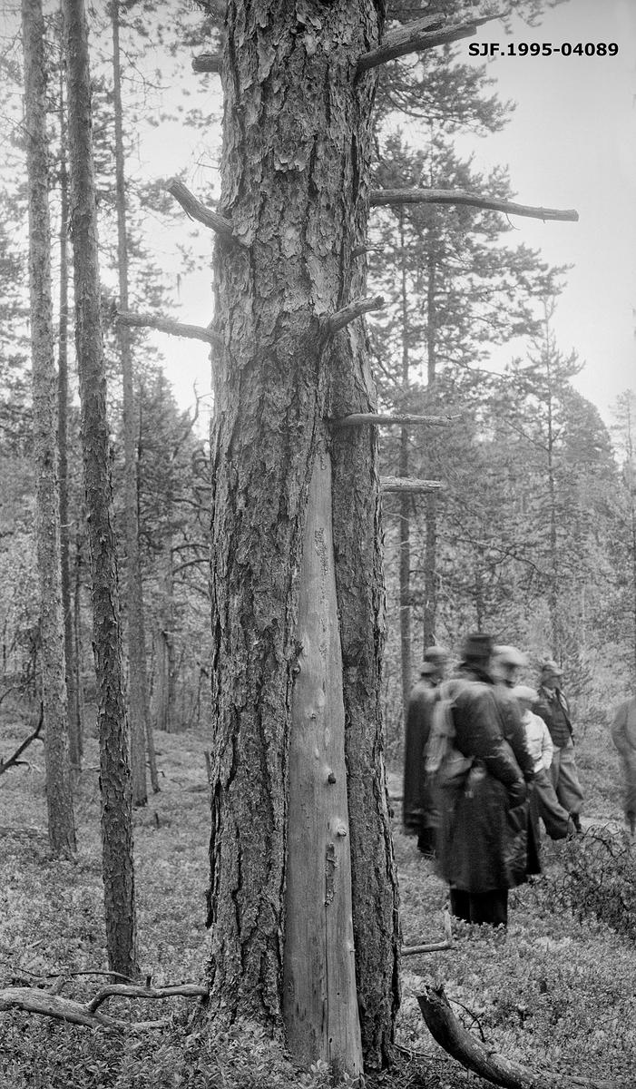 Gammel furu med barkløs blandflein fra bakken og anslagsvis halvannen meter oppover.  Fotografiet er tatt på Kjerringneset, i nærheten av skogvoktergarden Nesheim i Pasvikdalføret i Sør-Varanger kommune.  Fotografiet er tatt under Nord-Norges skogmannsforbunds jubileumsutferd til Øst-Finnmark i august 1938, da organisasjonen hadde 25-årsjubileum.  Kjerringneset ble presentert som et vanskelig skogområde å forvalte, på grunn av avstanden til markedene.  Det var rett og slett vanskelig å få drevet fram virke herfra med overskudd, enten det dreide seg om gamle trær som det i forgrunnen, som knapt vokste lenger, eller ungskog som skulle vært tynnet.  Til høyre i bildet ser vi noen av ekskursjonsdeltakerne.