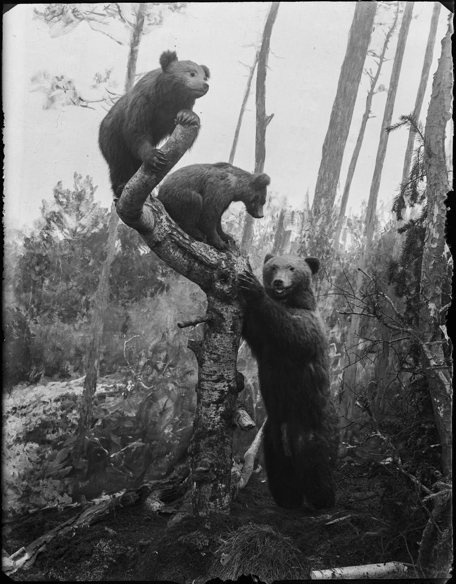 Diorama från Biologiska museets utställning om nordiskt djurliv i havs-, bergs- och skogsmiljö. Fotografi från omkring år 1900. Biologiska museets utställning Brunbjörn Ursus Arctos (Linnaeus)