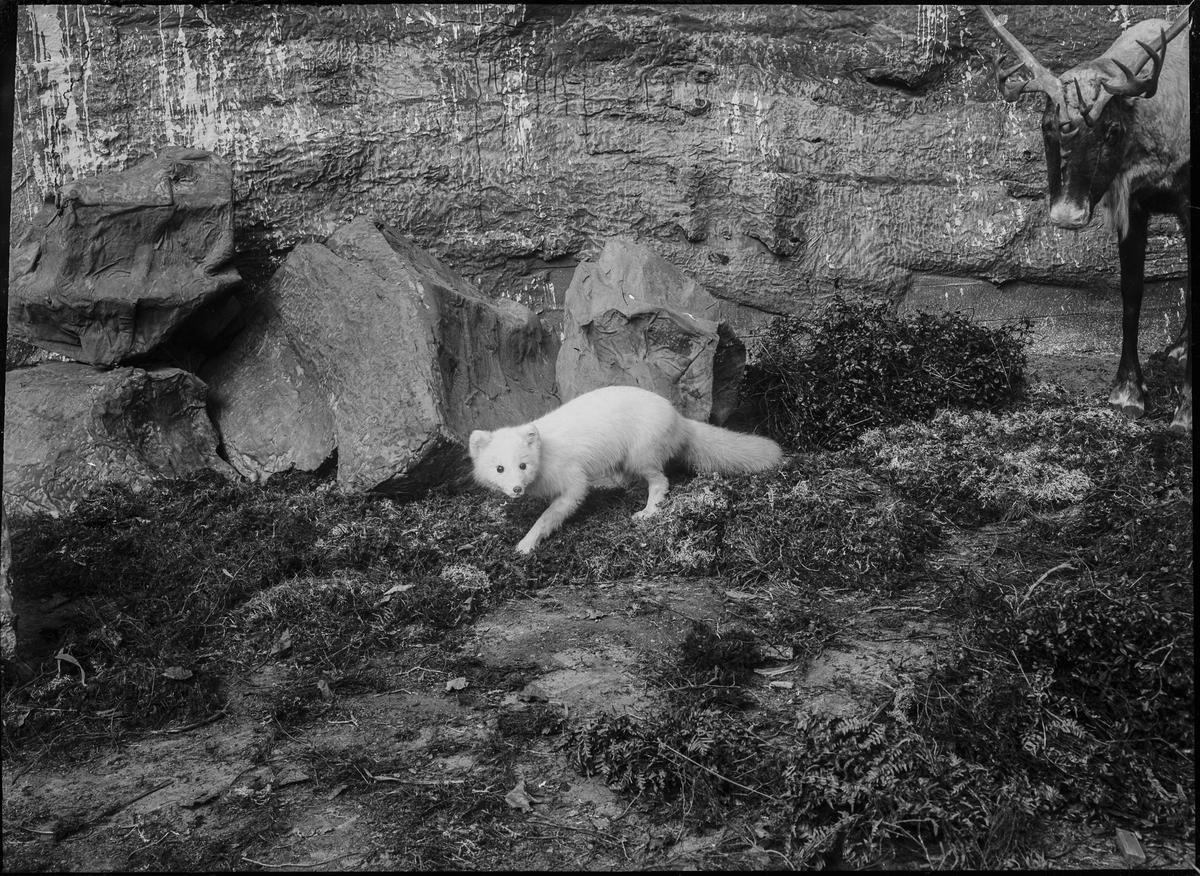 Diorama från Biologiska museets utställning om nordiskt djurliv i havs-, bergs- och skogsmiljö. Fotografi från omkring år 1900. Biologiska museets utställning Räv Fjällräv Vulpes Lagopus (Linnaeus) Vinterpäls