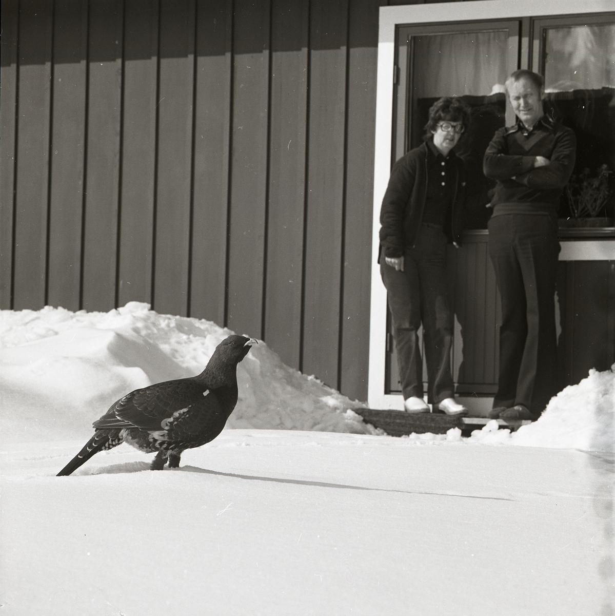 I Trönö 1980 har en djärv tjädertupp vandrat nära intill ett bostadshus och två personer har stigit ut på en stentrapp för att beskåda den. Tjädern står i decimeterdjup snö och längs husväggen står snövallarna ännu högre från marken.