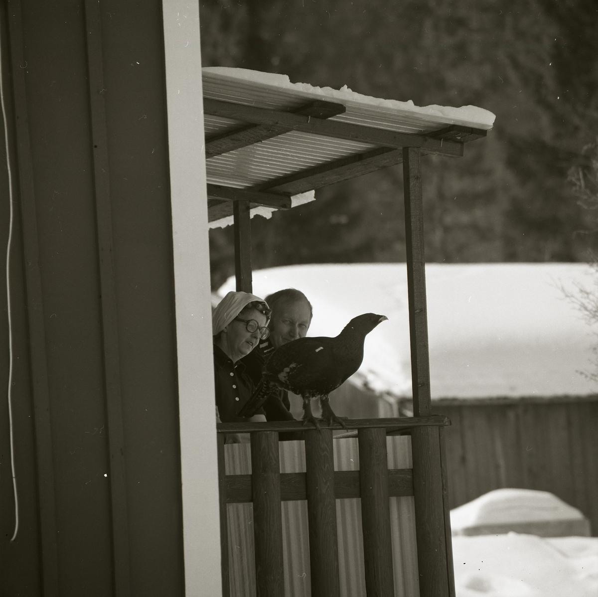 Med kameran kikandes runt husknuten är bilden på tjädertuppen tagen. Fågeln står stadigt med kloprydda fötter på altanräcket och blickar bort från fotografen. Bakom fågeln står en man och en kvinna på altanen, mannen blickar mot betraktaren medan kvinnan riktar intresset mot tjädern.